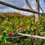 Brusnice brusinka (Vaccinium vitis-idaea L)