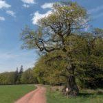 Dub letní – 350 let (Přední Záběhlá)